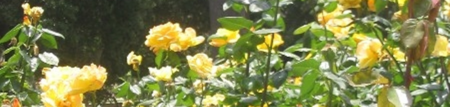 Yellow Roses at The Vicarage By The Sea